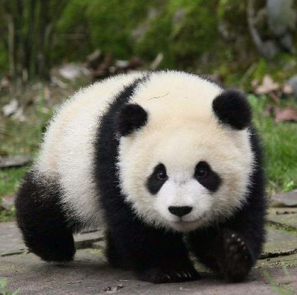 "Welcome to ""Panda Town"" :                                               Sichuan Giant Panda Sanctuaries!"
